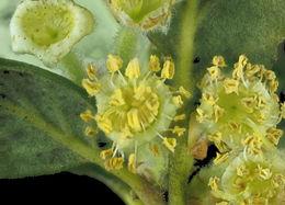 Image of <i>Cercocarpus traskiae</i>
