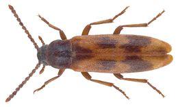 Image of <i>Hipulus quercinus</i>