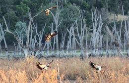Image of Magpie Goose