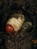 Image of <i>Diloboderus abderus</i> (Sturm 1826)