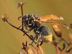 Image of Keyhole Wasp