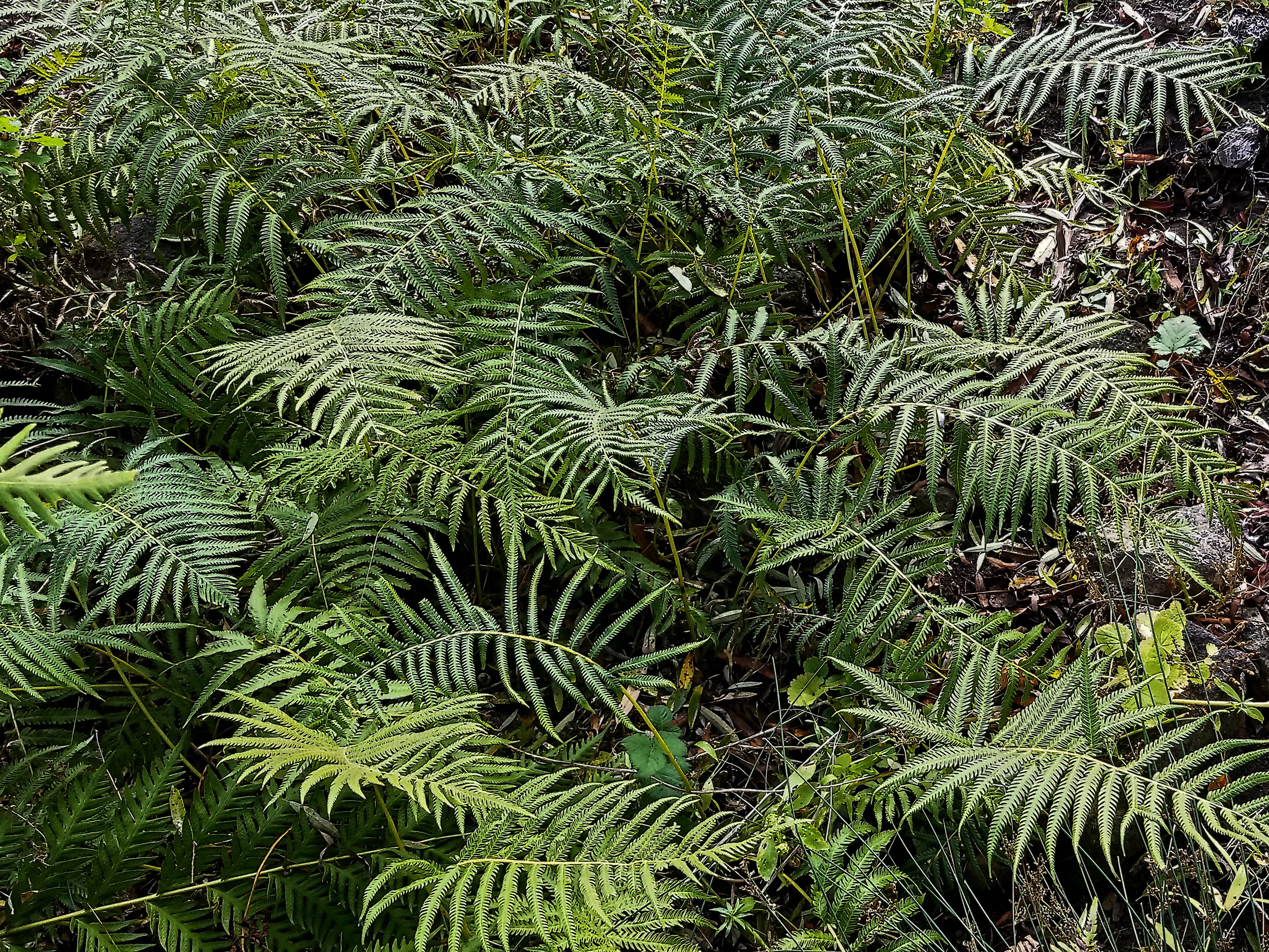 Image of Sonoran maiden fern
