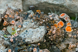 Image of dimple lichen
