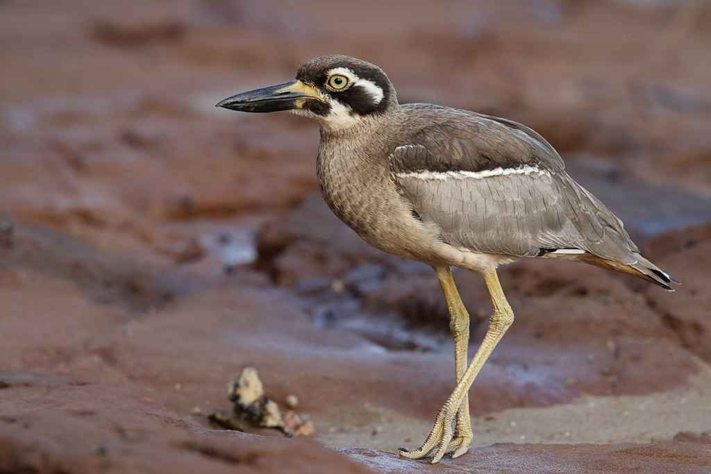 Image of Beach Stone-curlew