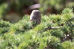 Image of Deodar cedar