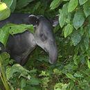 Image of tapir