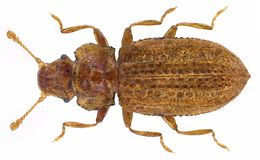 Image of <i>Lithostygnus serripennis</i>