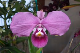 Image of Kovach's Phragmipedium