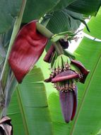 Image of <i>Musa paradisica</i>