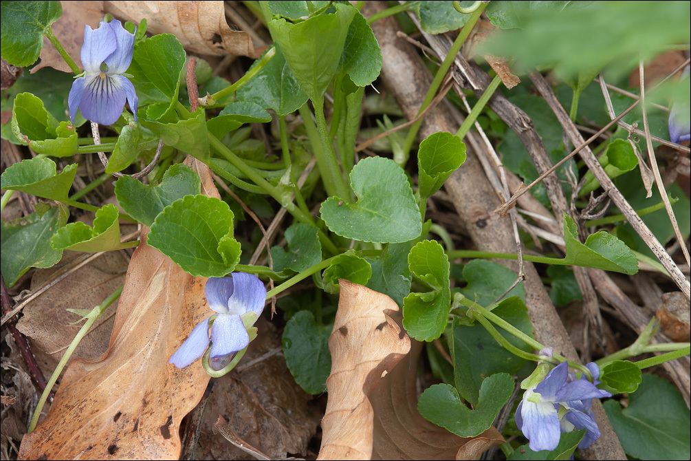 Image of <i>Viola pyrenaica</i> Ramond ex DC.