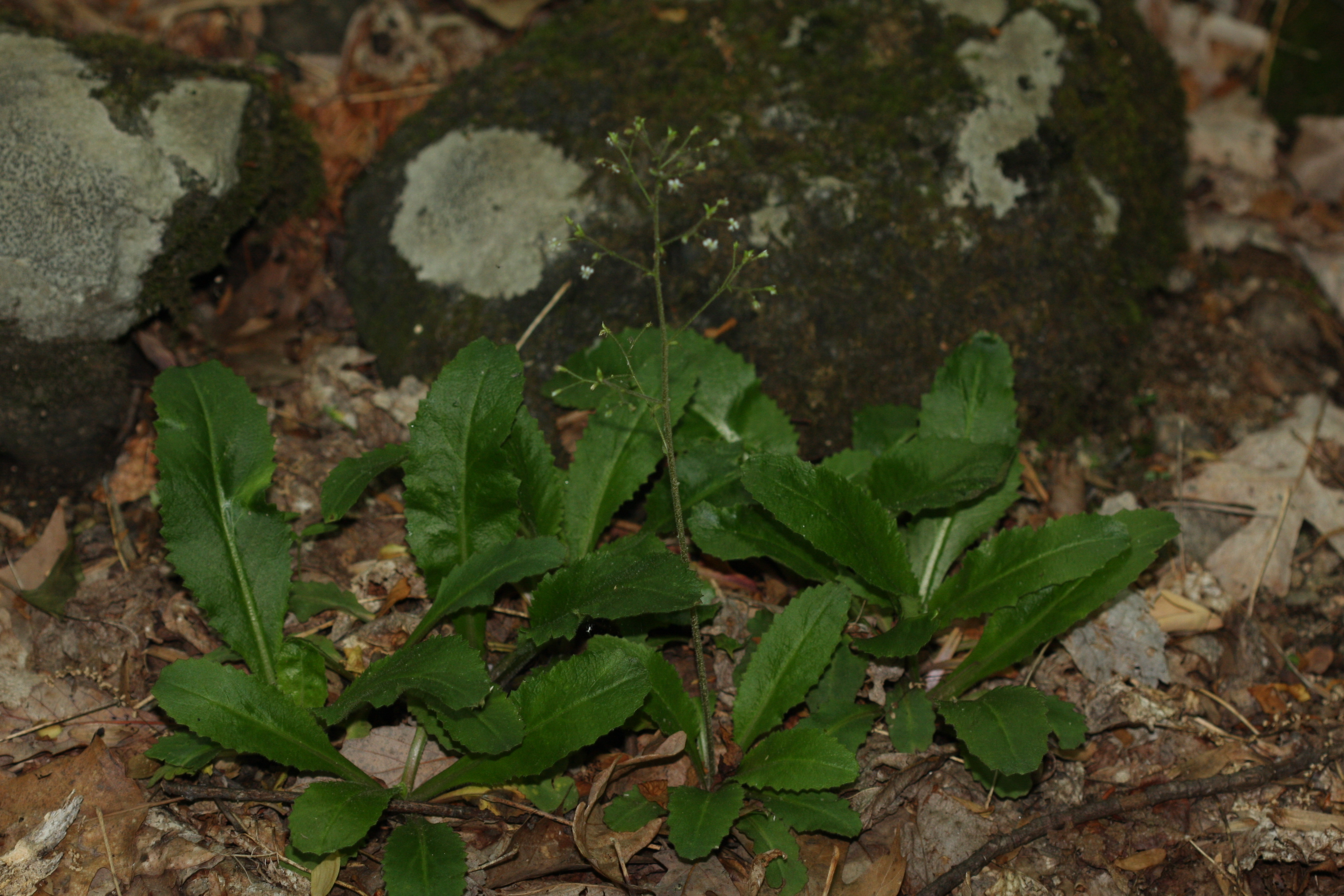 Image of Michaux's saxifrage
