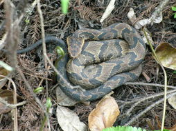 Image of Florida Cottonmouth