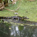 Image of American alligator