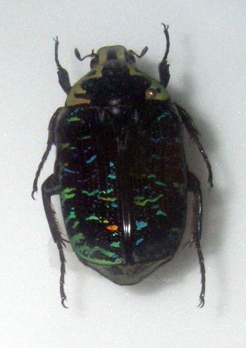 Image of <i>Euchroea urania</i> Fairmaire 1897