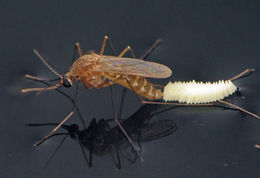 Image of Southern House Mosquito
