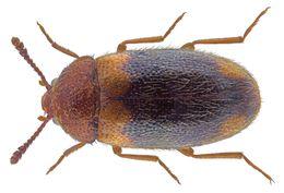 Image of <i>Triphyllus bicolor</i>