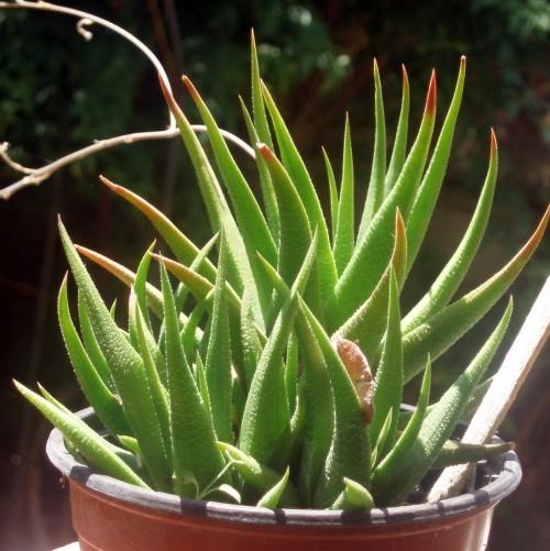 Image of <i>Haworthia angustifolia</i> Haw.