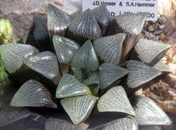 Image of <i>Haworthia bayeri</i> J. D. Venter & S. A. Hammer