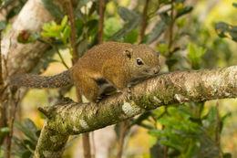 Image of Borneo Black-banded Squirrel