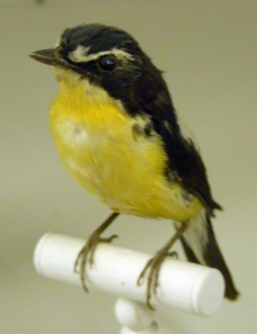 Image of Narcissus Flycatcher