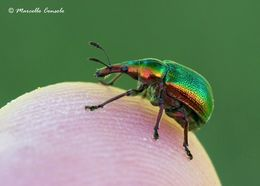 Image of poplar leaf-rolling weevil