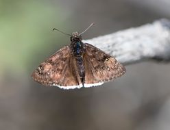 Image of Mournful Duskywing