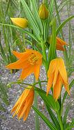 Image of <i>Gloriosa modesta</i> (Hook.) J. C. Manning & Vinn.