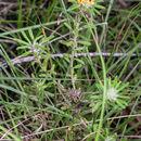 Image of <i>Phyllota phylicoides</i> (DC.) Benth.