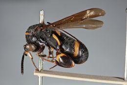 Image of <i>Leucospis exornata</i>