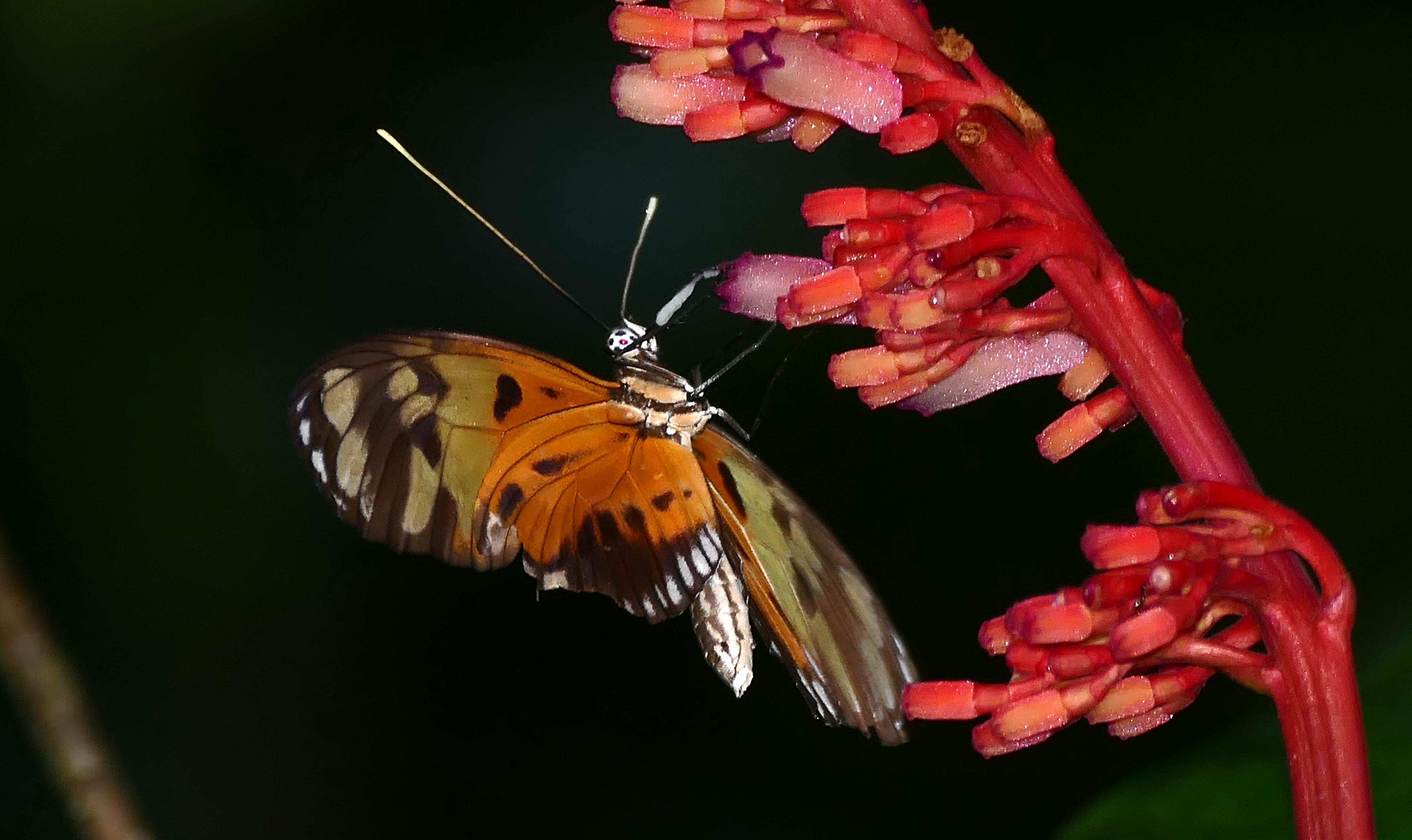Image of <i>Palicourea calophylla</i> DC.