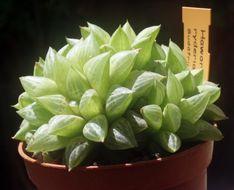 Image of <i>Haworthia ryderiana</i>