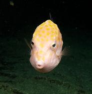 Image of Blue boxfish