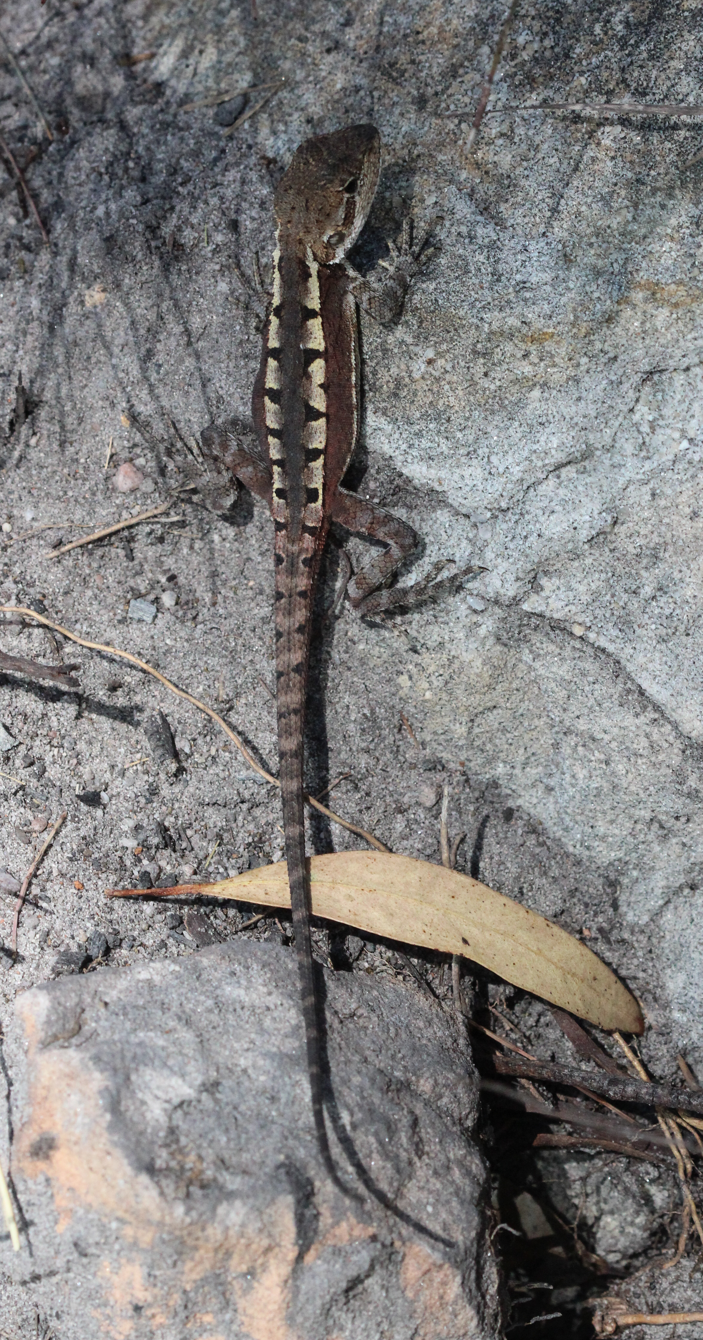 Image of <i>Diporiphora phaeospinosa</i> Edwards & Melville 2011