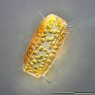 Image of Diatom