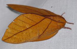 Image of <i>Adeloneivaia cayennsis</i> Brechlin & Meister 2011