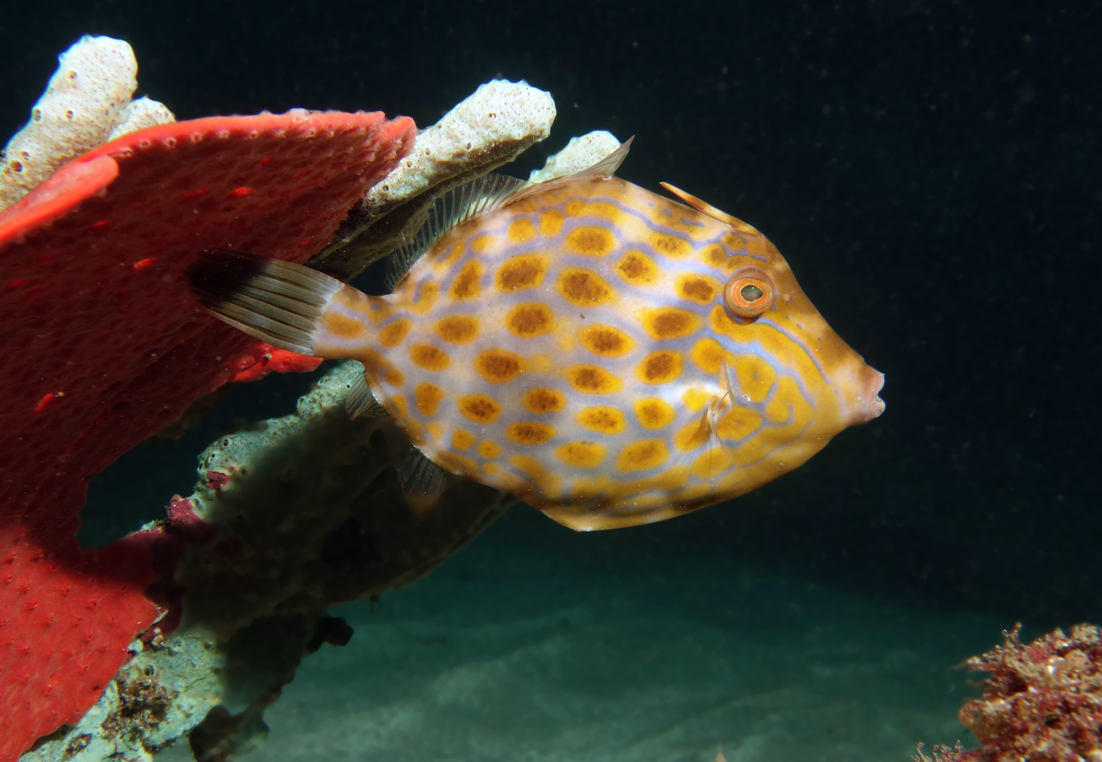 Image of Deep-bodied leatherjacket