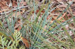 Image of <i>Lomandra <i>multiflora</i></i> ssp. multiflora
