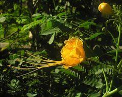 Image of Csalpinie sappan
