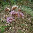 Image of <i>Chionanthus pubescens</i> Kunth