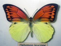 Image of <i>Hebomoia leucippe</i> (Cramer (1775))