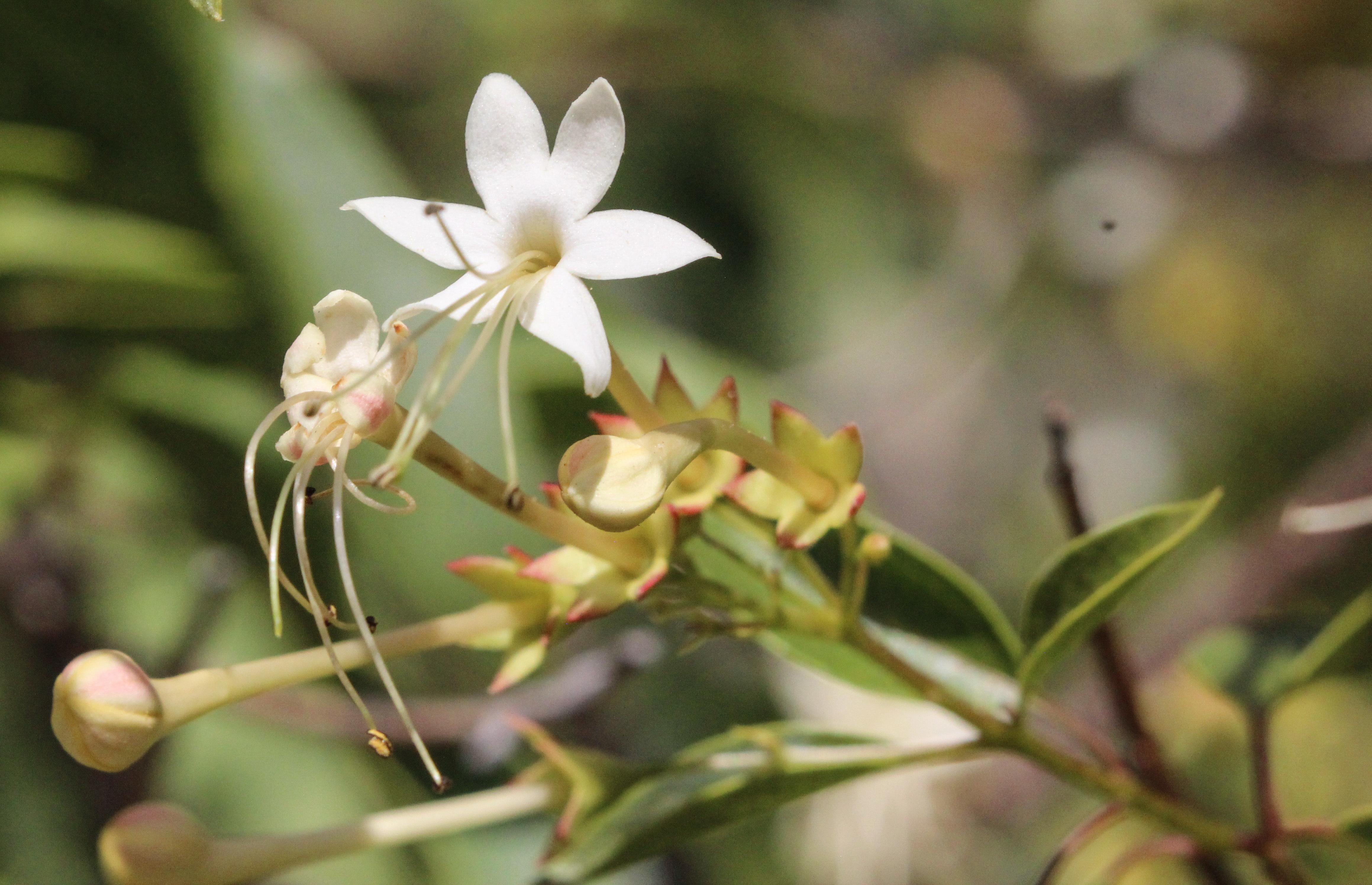 Image of <i>Clerodendrum floribundum</i> R. Br.