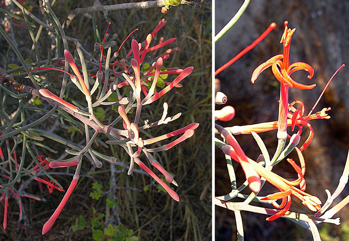 Image of <i>Phrygilanthus sonorae</i> (S. Watson) Standl.