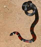 Image of <i>Atractus badius micheli</i>