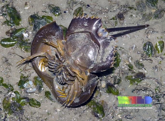 Image of Horseshoe Crab