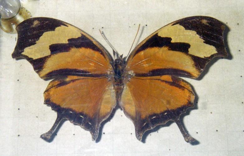 Image of <i>Consul fabius</i> Cramer 1779