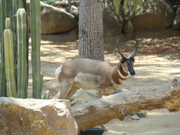 Image of Baja California pronghorn