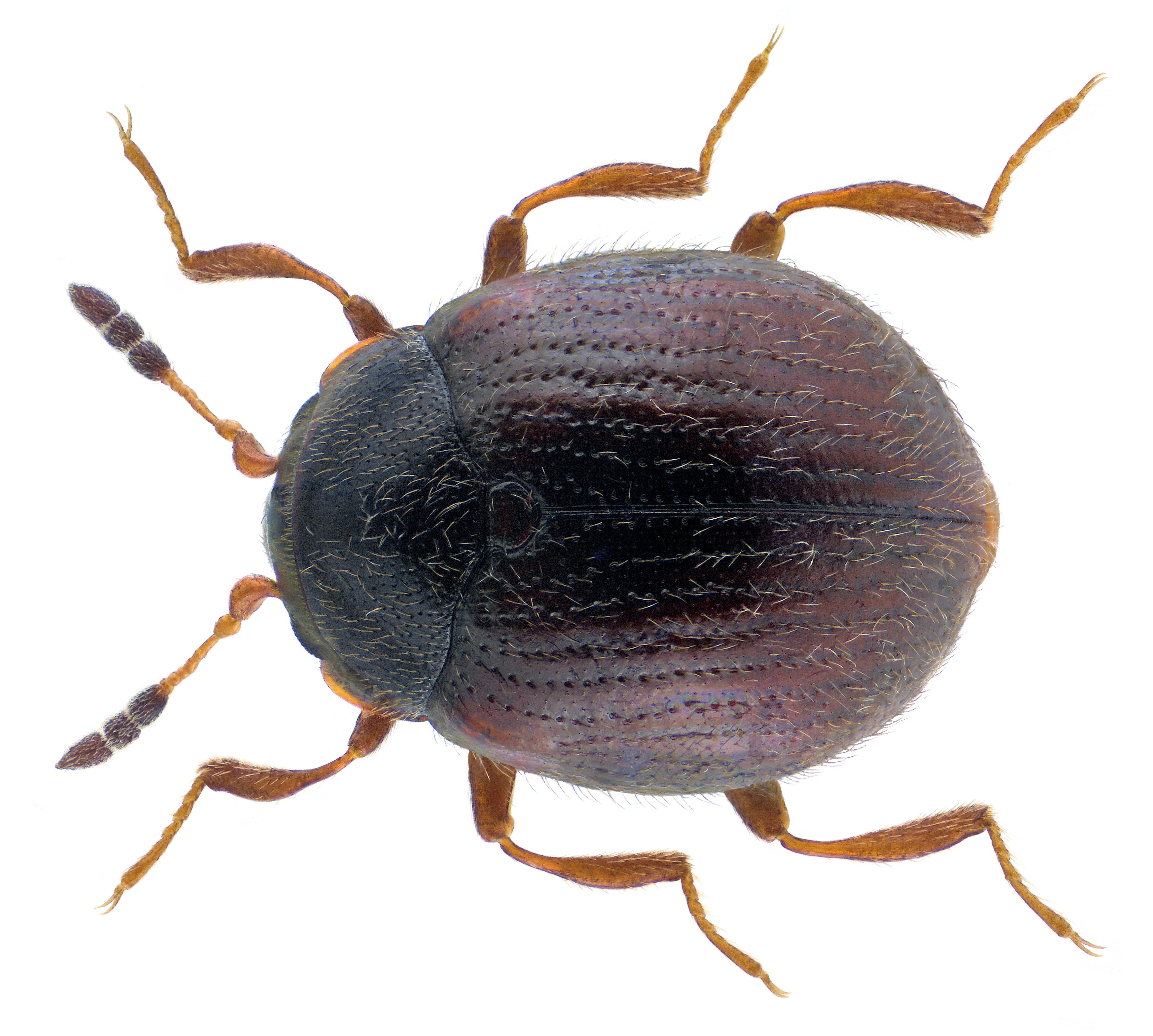 Image of <i>Aspidiphorus orbiculatus</i> (Gyllenhal 1808) Gyllenhal 1808