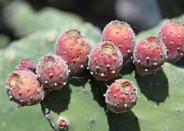 Image of woollyjoint pricklypear