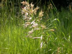 Image of downy alpine oatgrass