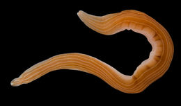 Image of <i>Drepanophorus spectabilis</i>